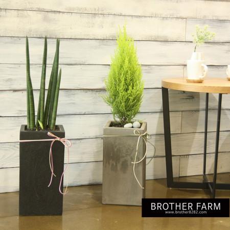 형제농원 공기정화식물 스투키 인테리어 화분