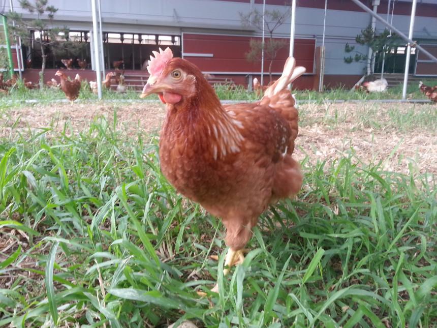 마당 넓은 집에서 신~~~나게 노는 알찬 유정란 농장의 닭들
