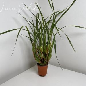 막실라리아 테누이포리아 Maxillaria tenuifolia (대형/특대형)