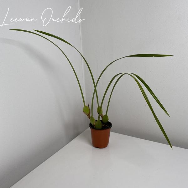 김포시 사회적경제마켓,막실라리아 테누이포리아 Maxillaria tenuifolia (소형/중형)