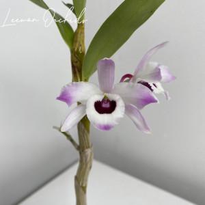 덴드로비움 노빌 Dendrobium nobile 金釵石斛(금채 석곡)-꽃대 없음