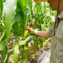 양양 금풀의마을 산마늘 산마늘장아찌 옥수수 농촌 체험