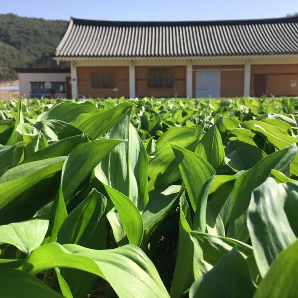 고맙다양양몰 - 농산물직거래쇼핑몰,양양 금풀의마을 산마늘 산마늘장아찌 옥수수 농촌 체험